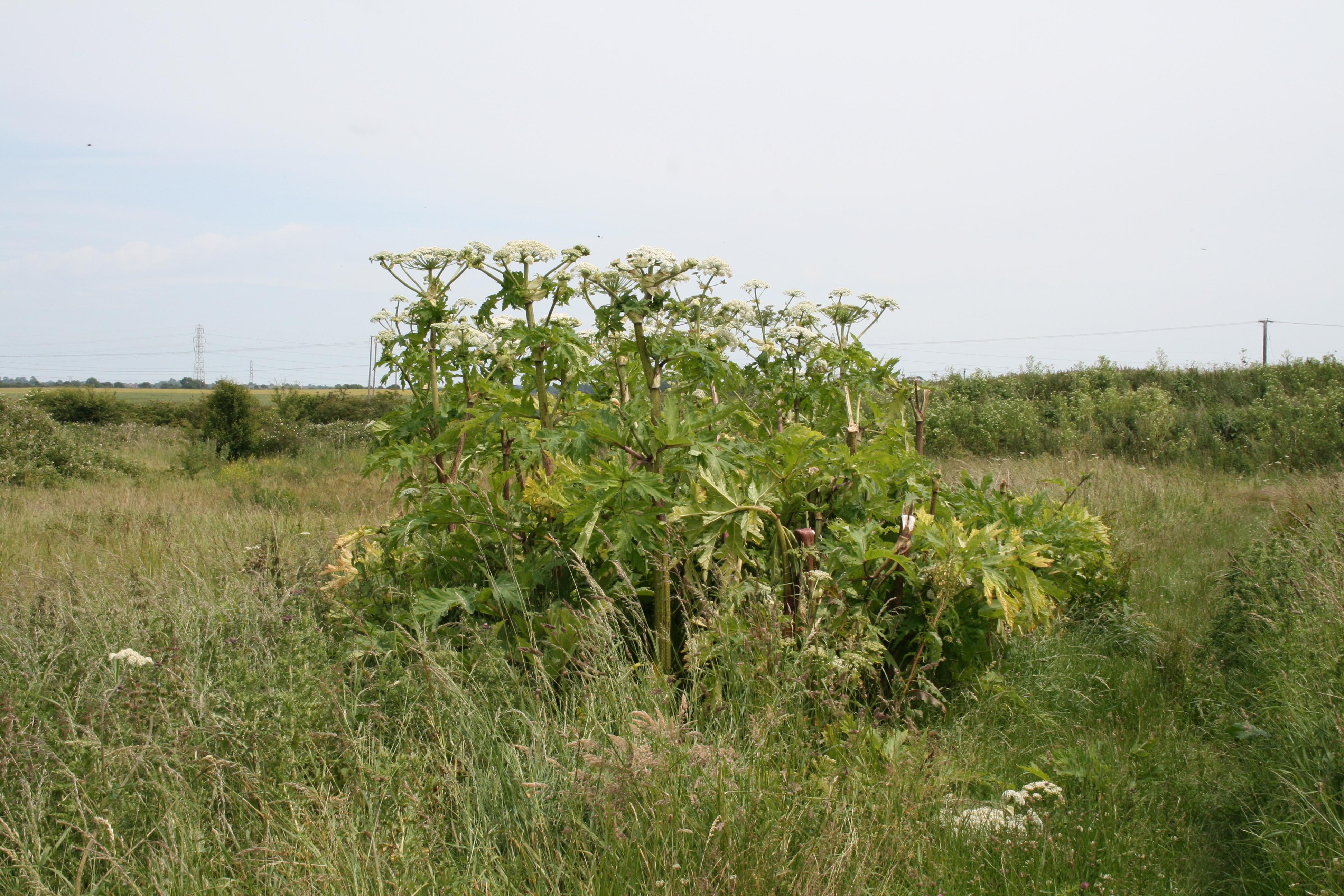 giant-hogweed-2